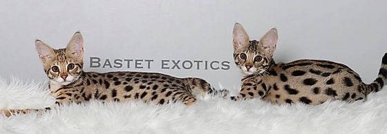 Savannah, Bastet Exotics