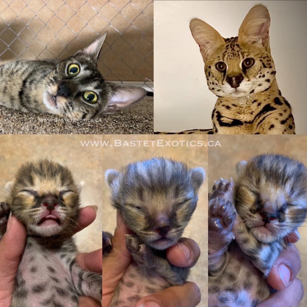 F1 Savannah Kittens, Bastet Exotics