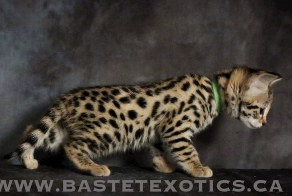 charcoal bengal cat savannah kittens canada savannah kittens alberta savannah exotics bastet exotics, Home, Bastet Exotics, Bastet Exotics