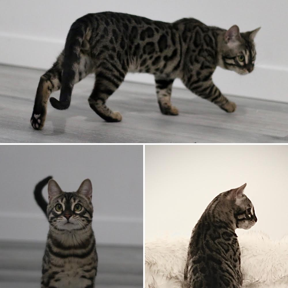 How to Help Your New Savannah Kitten Settle Into Your Home