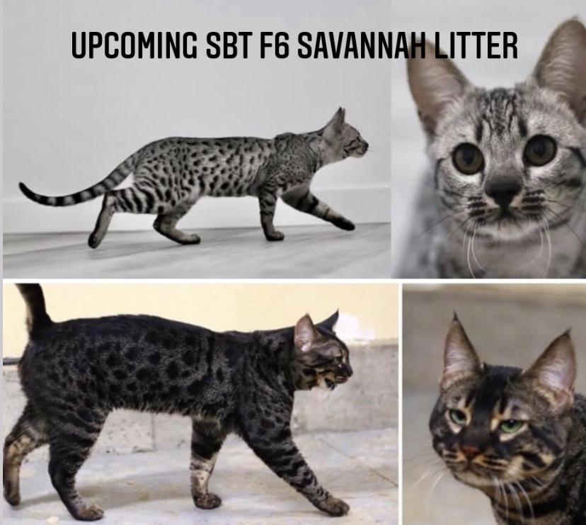 SBT F6 SAVANNAH KITTENS