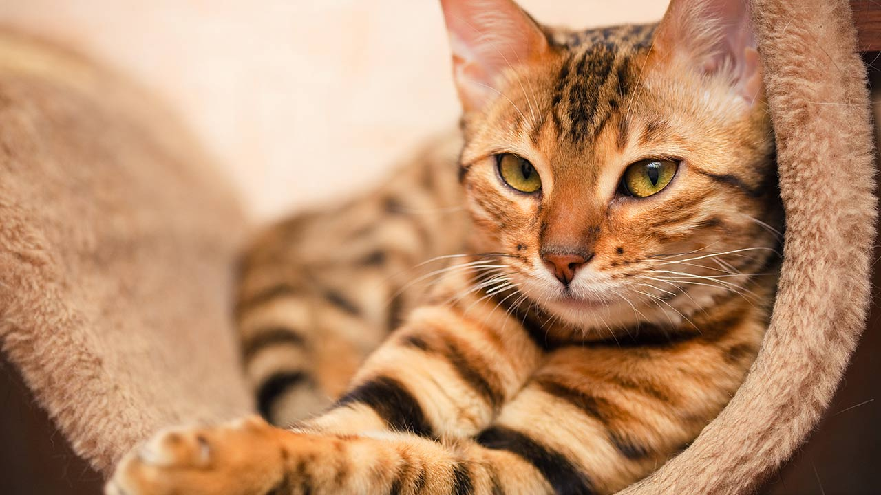 Things You Might Not Know About Bengal Cats
