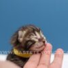 charcoal bengal cat savannah kittens canada savannah kittens alberta savannah exotics bastet exotics, Available Kittens, Bastet Exotics